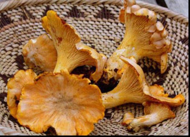 где собирают грибы в краснодарском крае