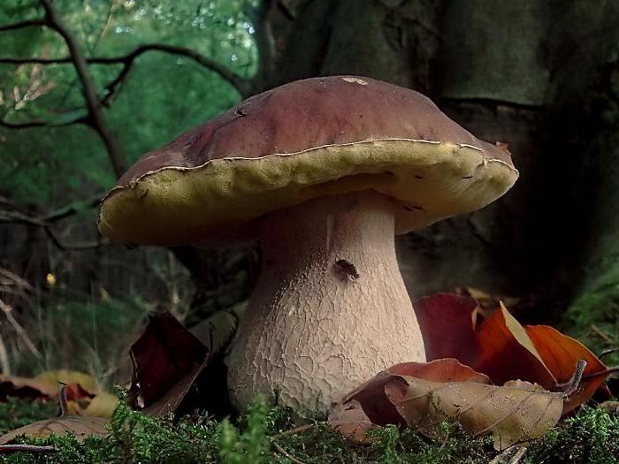 какие грибы растут в краснодарском крае