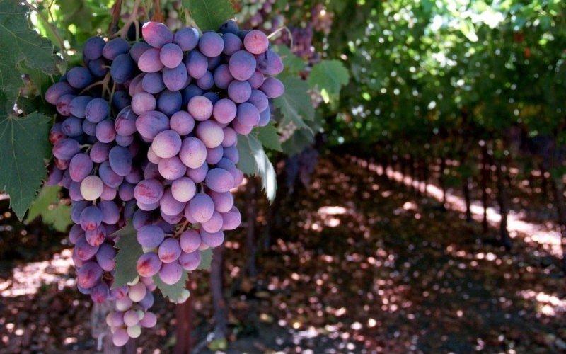 Правильный полив винограда (с видео)