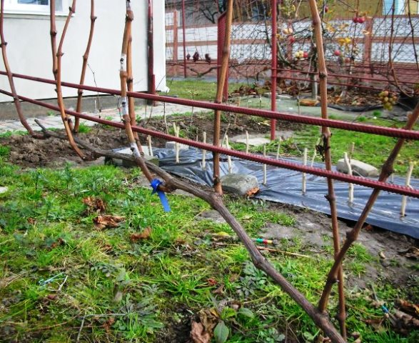 Как правильно обрабатывать и ухаживать за виноградной лозой