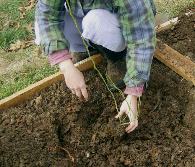 Посадка садовой голубики: когда и как посадить осенью и весной
