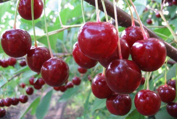 Как вырастить черешню на даче: обрезка черешни, уход за деревом