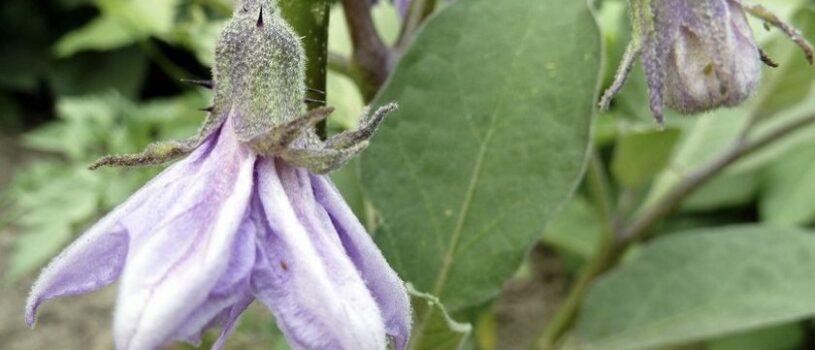 Почему баклажаны цветут, но не завязываются плоды?