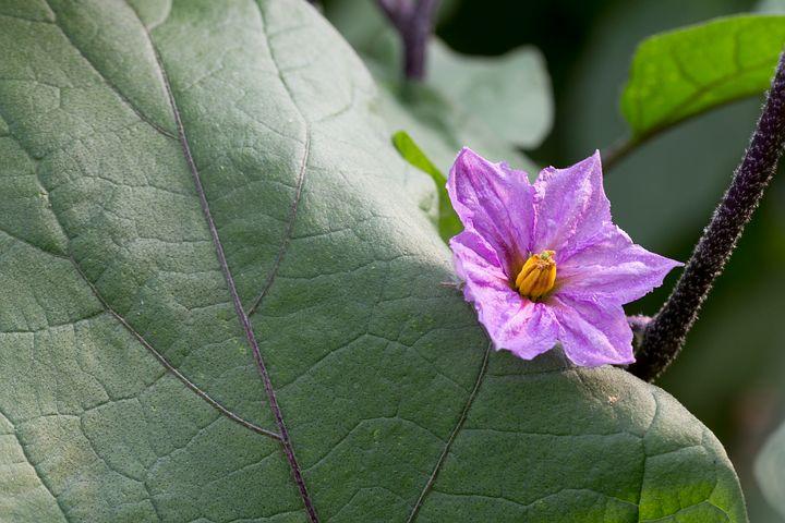 почему баклажаны цветут, но не завязываются плоды