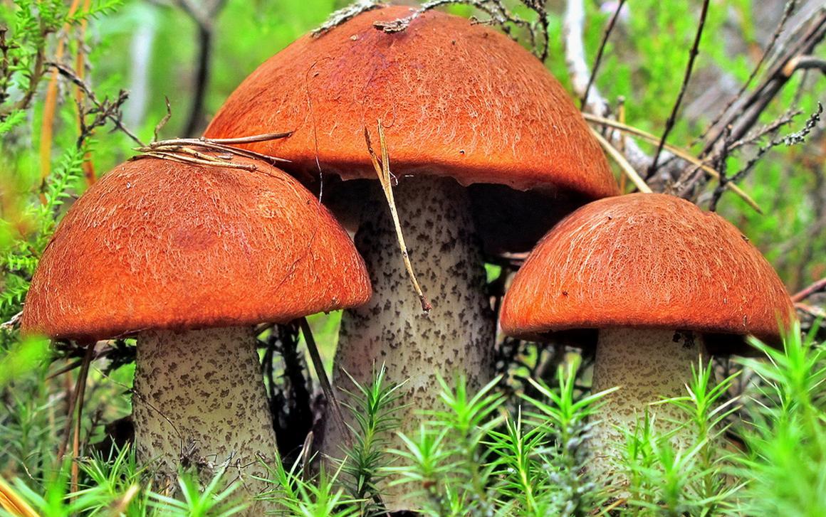 грибные места в Могилёвской области 2020