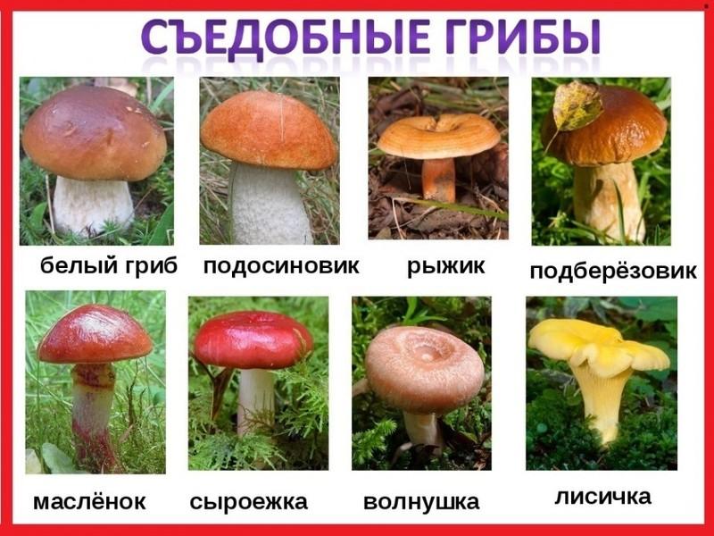 какие грибы можно найти и собрать в Воронежской области и Нововоронеже фото 1