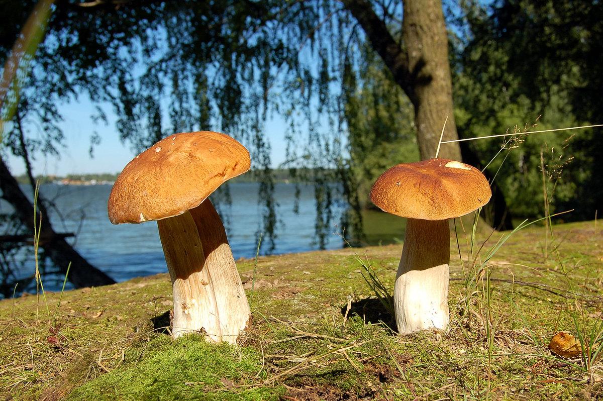 где найти съедобные и условно-съедобные грибы фото 2