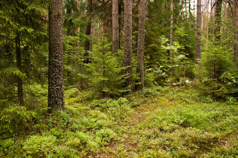 грибные места в Ленинградской области 2020 сейчас фото 2