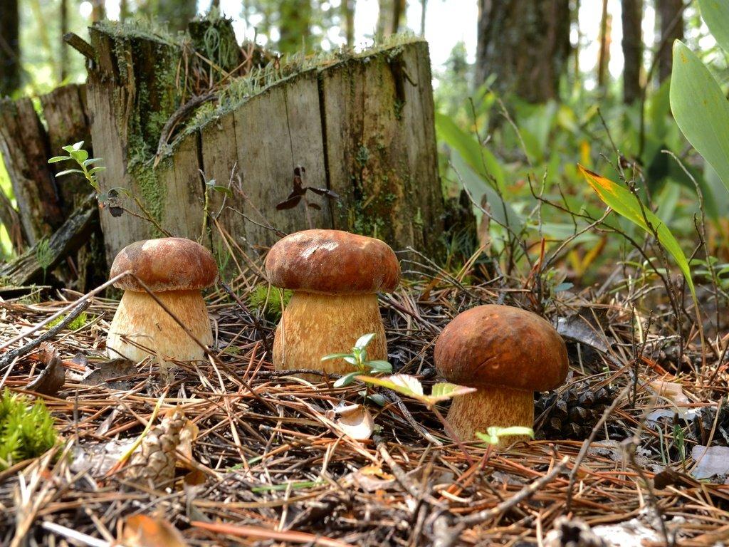 что пишут на форуме, пошли ли грибы или нет фото 2