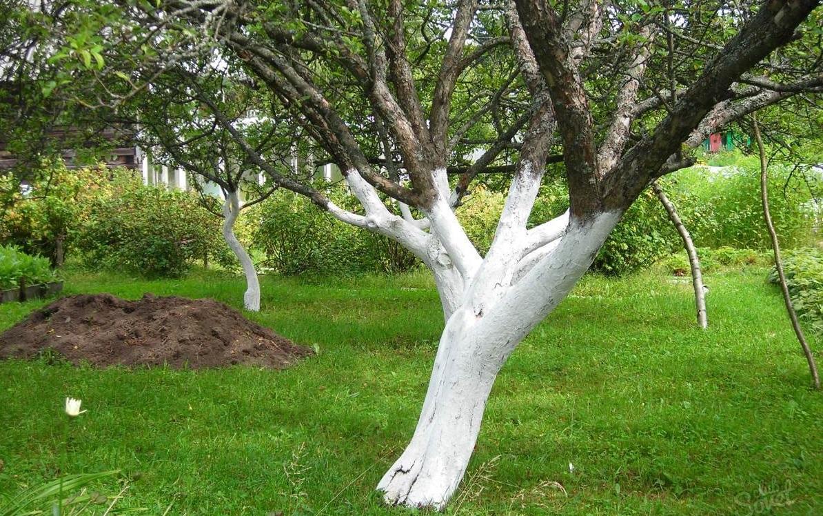 как правильно побелить деревья осенью