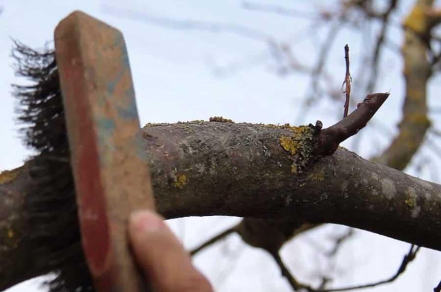 осенняя подготовка деревьев к побелке