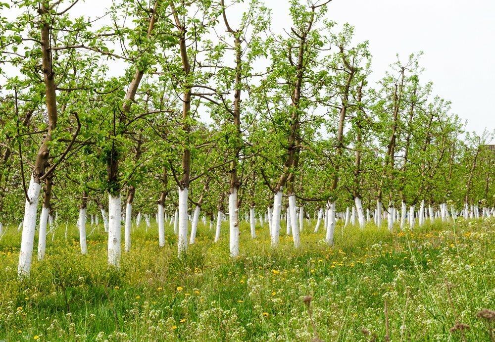 как побелить деревья осенью, чтобы известь не смывалась