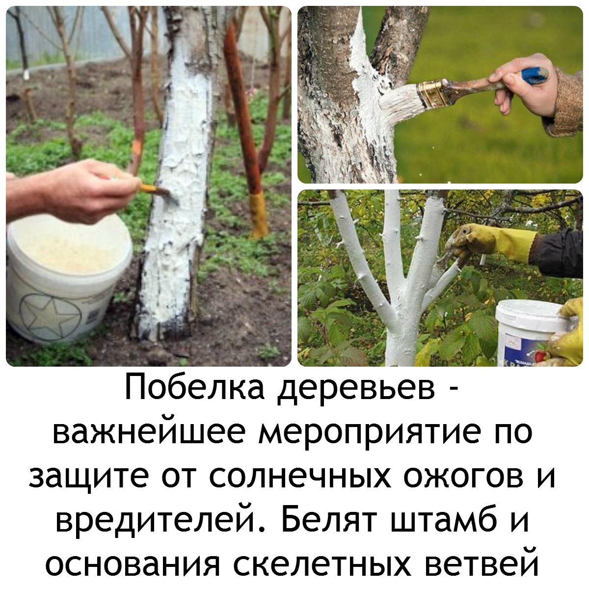 если все время идет дождь, как побелить деревья