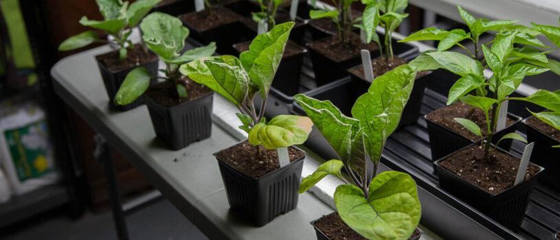 Как посадить баклажаны на рассаду в 2020 году?