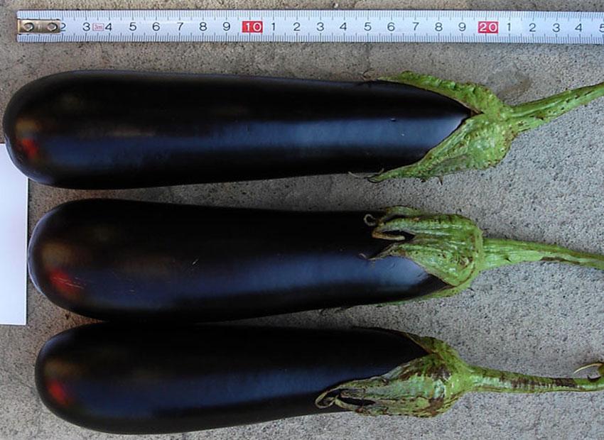 самые урожайные лучшие сорта баклажан для теплицы фото 3