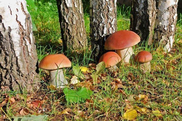 №1 - белый гриб (боровики) фото 1