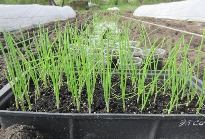 рекомендации по выращиванию рассады фото