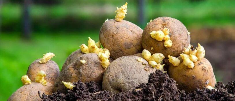 Правила посадки картофеля в 2020 году
