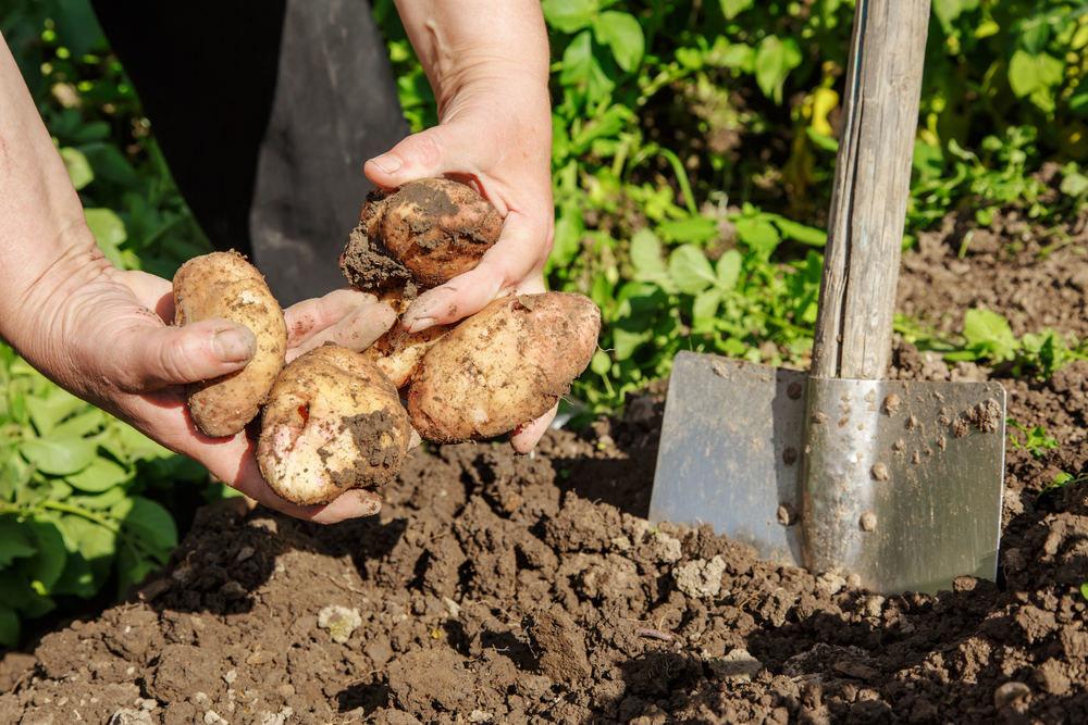 сроки выкапывания картофеля 2020