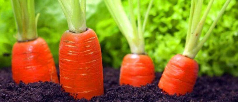 Когда сажать морковь в 2020 году по Лунному календарю?