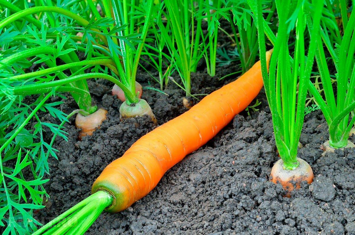 когда сажать морковь в 2020 году по Лунному календарю фото