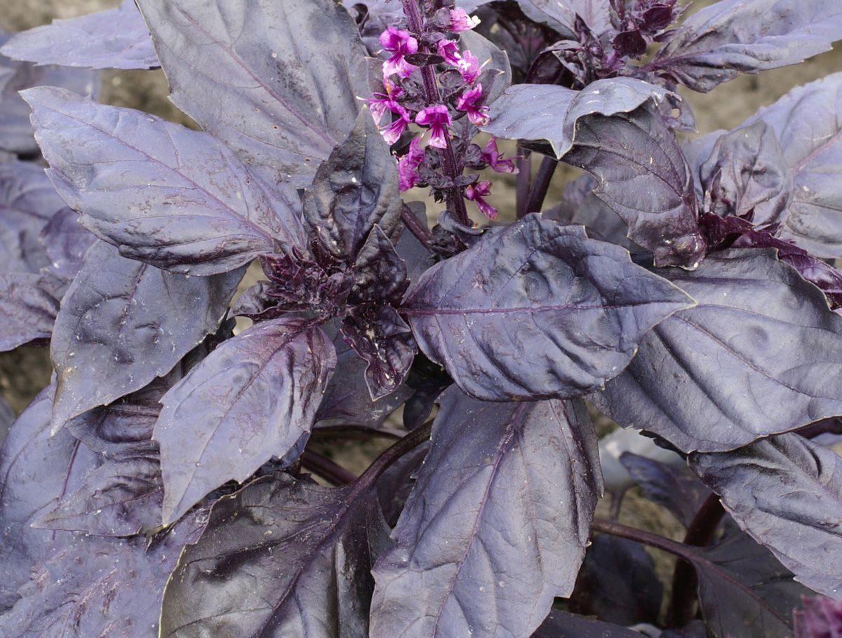 №1 - Базилик фиолетовый фото