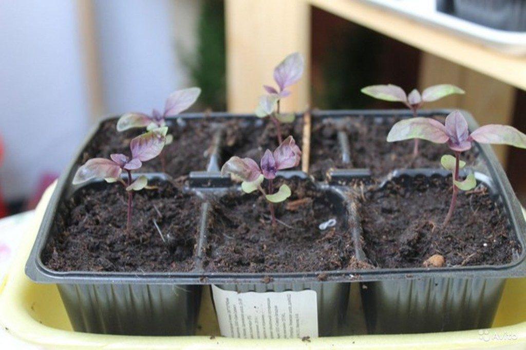 выращивание базилика, оптимальные условия фото