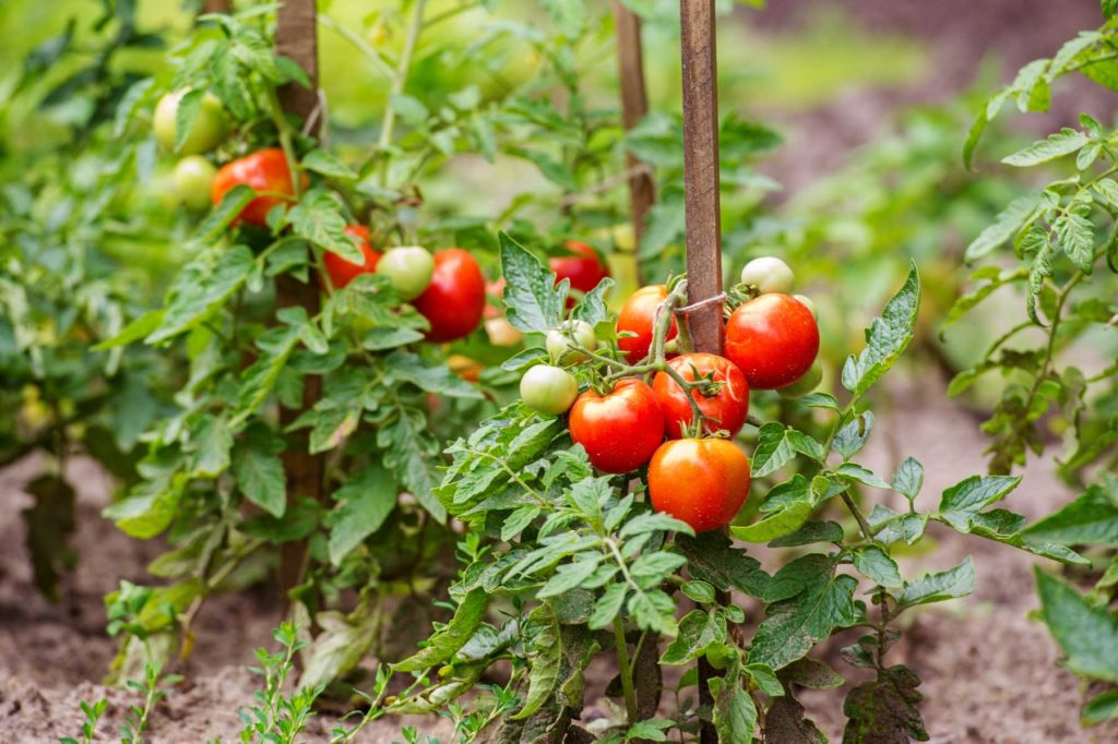 Посадка и выращивание томатов на рассаду в 2020 году по Лунному календарю фото 2