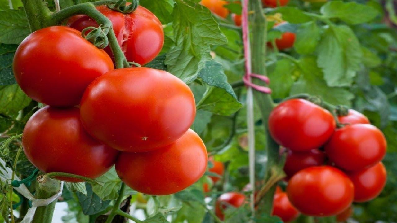 Посадка и выращивание томатов на рассаду в 2020 году по Лунному календарю фото