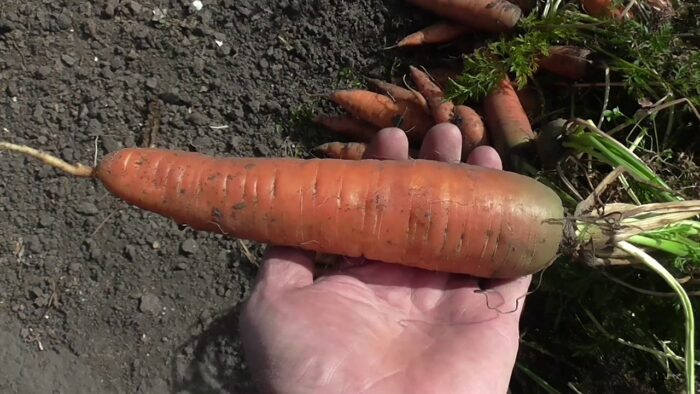 посадка моркови по регионам фото
