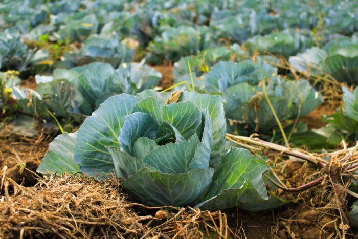 благоприятные дни для посева и посадки капусты в 2020 году фото