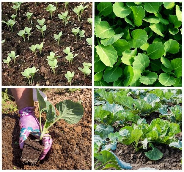 благоприятные сроки для высадки капусты в открытый грунт фото 1