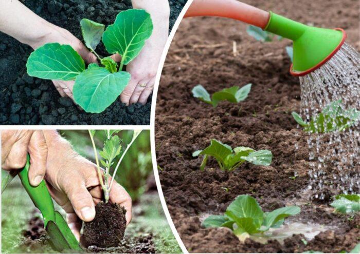 благоприятные сроки для высадки капусты в открытый грунт фото 2
