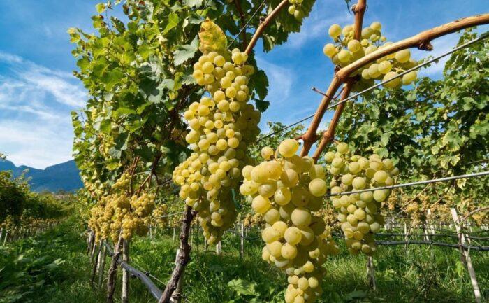 благоприятная посадка винограда в 2020 году фото 2