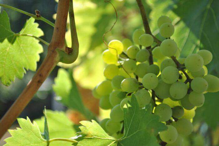 благоприятная посадка винограда в 2020 году фото