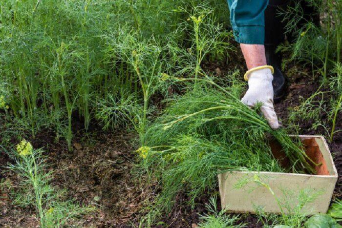 дезинфицирование семян укропа перед посевом фото