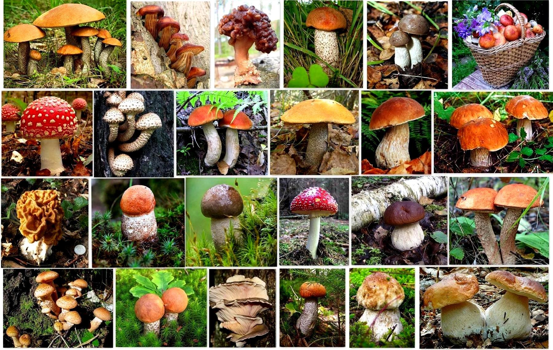 всего такие картинки виды грибов и их названия с фото радостном предвкушении