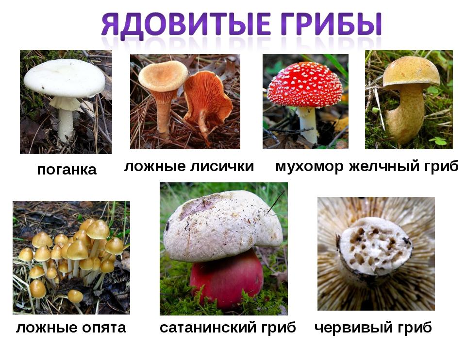 передний название несъедобных грибов с фото и названиями круизов