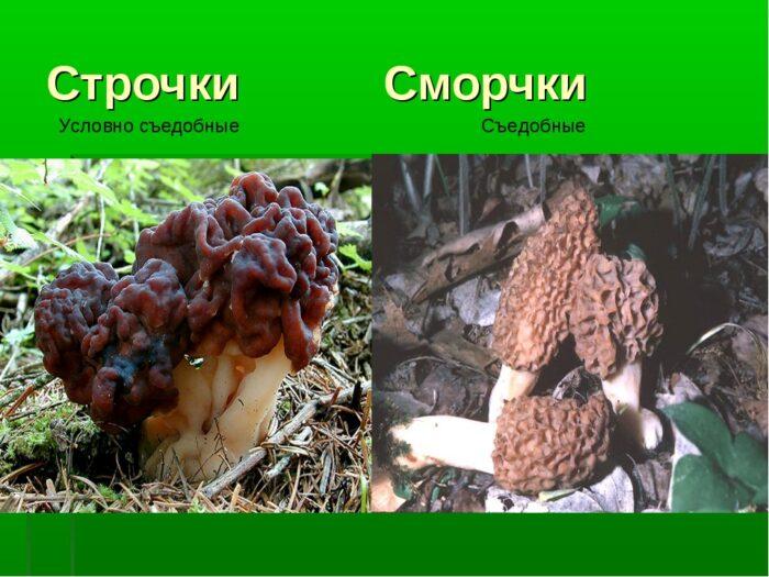 весенние грибы фото