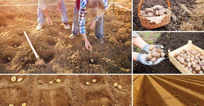 посадка картофеля, полезные советы фото