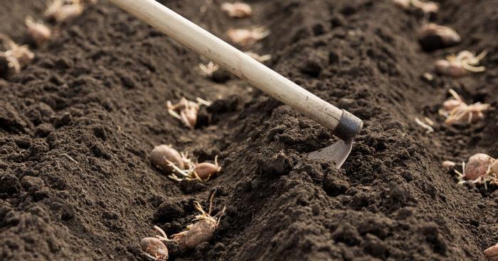 благоприятные дни для посадки картофеля в мае 2020 года по Лунному календарю фото