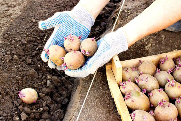 посадка картофеля в зависимости от сорта фото