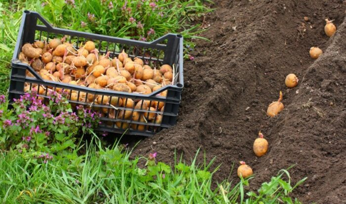 возможные способы посадки картофеля фото