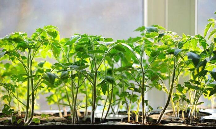 когда высаживать рассаду томатов в открытый грунт в 2020 году фото