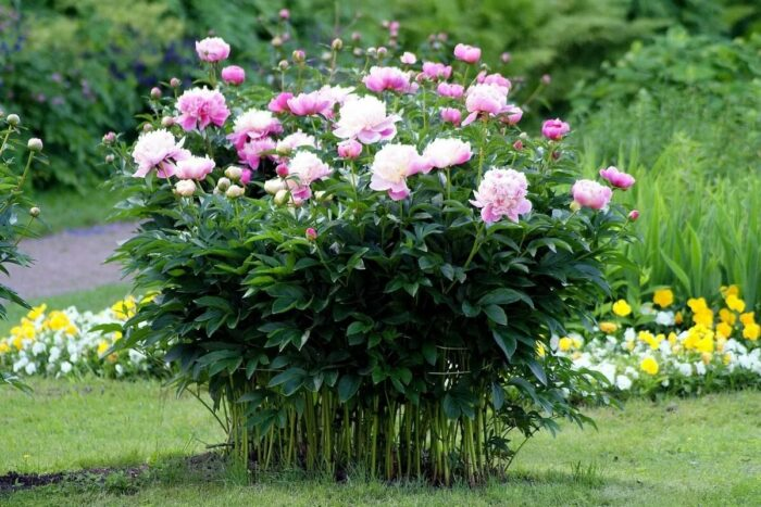 почему не цветут пионы фото 2
