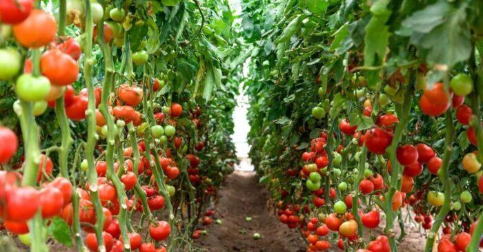 когда обрезать листья у помидоров - правильное формирование куста фото