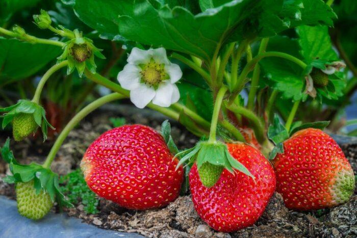 нужна ли подкормка клубники во время плодоношения и цветения фото