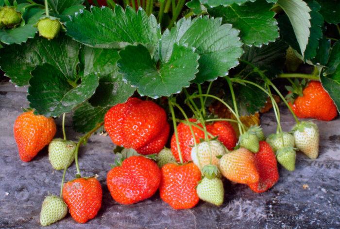 подкормка клубники во время цветения, завязывание ягод и плодоношения фото 1