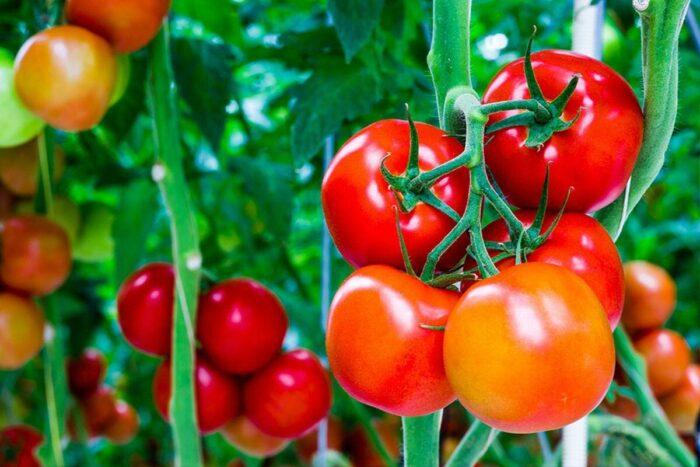 внесение подкормки для помидоров в июне фото