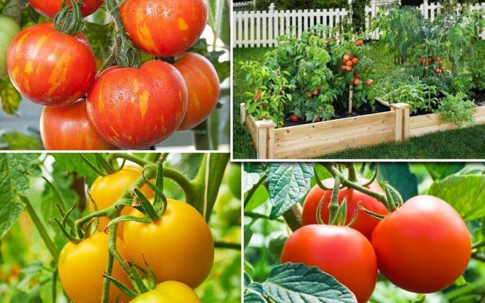 когда подкармливать помидоры в июне, июле и августе фото